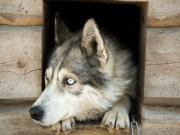 Husky in Lapland (photo by Flatlight Creative)2