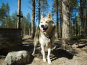 Husky in Lapland (photo by Flatlight Creative)5