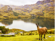 Cajas National Park with Lama-crop