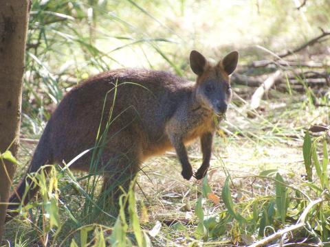 wallaby-226275_1920