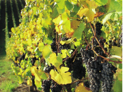 barossa-grapes_banner