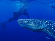 セブ_ジンベイザメと泳ぐ1.1