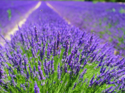 lavender-cultivation-2138398_1920