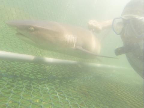Bali_sharkfeeding3
