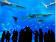 Japan_Okinawa_Churaumi_Aquarium_Silhouettes_shutterstock_365613935 (1)
