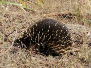 Mornington Peninsula Cape Schanck Echidna