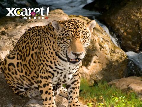 xcaret-jaguar
