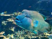 Japan_Okinawa_Aquarium_Napoleon_Fish_Maori_Wrasse_shutterstock_2819122