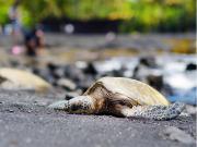 Hawaii_Big_Island_Punaluu_Black_Sand_Beach_Seaturtle_shutterstock_648678757