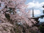 国宝・醍醐寺五重塔としだれ桜