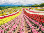 Japan_ Hokkaido_Furano_shutterstock_488126023