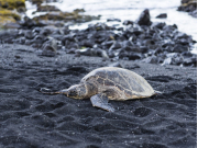 Hawaii_Big_Island_Punaluu_Black_Sand_Beach_Turtle_123RF_36823238_ML