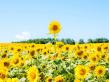 Hokkaido_Hokuryu_Sunflower_Field_shutterstock_475809883 (1)
