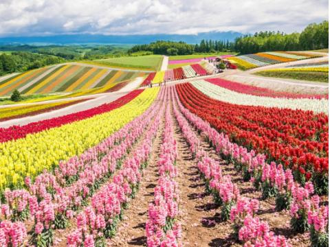 北海道花季┃徜徉美丽花海・品味浪漫春意