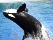 Generic_Killer-Whale_123RF_13416184_ML