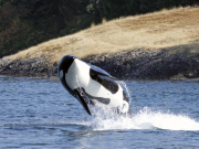 Generic_Killer-Whale_123RF_37427491_ML