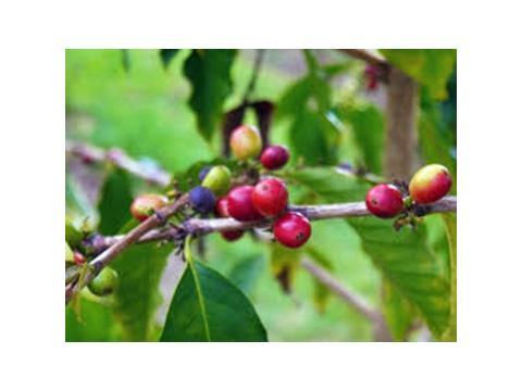 (3)_Kona_Coffee