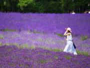 Japan_Hokkaido_Furano_Lavender_shutterstock_766551280-1