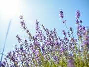 Hokkaido_Frano_Farm_Tomita_Lavender_shutterstock_154932899-1