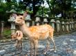 Japan_Nara_Deer_shutterstock_530957122