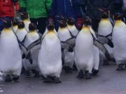 king-penguin-1154433_1920
