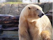 polar-bear-2155243_1920