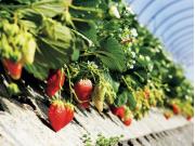 Strawberry Farm in Shizuoka