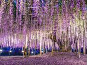 Tochigi_Ashikaga_Flower_Park_Giant_Wisteria_Night_shutterstock_289337600