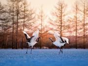 Japan_Hokkaido_Kushiro_Crane_shutterstock_259293044