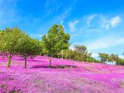 Japan_Hokkaido_Takinoue_Park_Shiba_Sakura_shutterstock_287959913