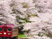 train going through sakura cherry blossoms