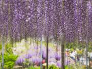 Tochigi_Ashikaga_Flower_Park_Wisteria_day_shutterstock_717402271