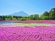 Japan_Yamanashi_Fuji_Shiba_cherry-blossom_shutterstock_1152126005