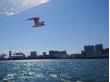 yurikamome black-headed gull flying in Tokyo