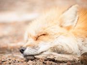 Japan_Miyagi_Zao_fox_village_shutterstock_521154514
