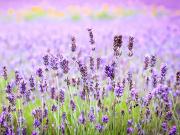 Japan_Hokkaido_Furano_Lavender_shutterstock_300084980-2