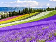 Hokkaido_Frano_Farm_Tomita_shutterstock_455115835
