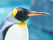 Japan_Hokkaido_Asahikawa_Asahiyama_zoo_penguin_shutterstock_598495250