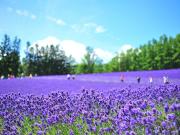 Japan_Hokkaido_Furano_Lavender_shutterstock_580672114
