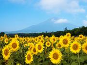 Japan_Yamanashi_Mt_Fuji_hananomiyako_garden_sunflower_shutterstock_1227575620