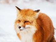 Japan_Miyagi_Zao_fox_village_winter_shutterstock_1465993658