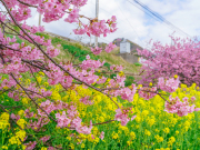 Japan_Kanagawa_Miurakaigan_cherry-blossom-sakura-kawazushutterstock_1325343761