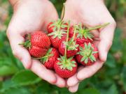 strawberry picking_shutterstock_65682373