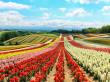 Hokkaido_Biei_Shikisai_no_Oka_Flower_Field_shutterstock_727603621