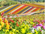 Hokkaido_Biei_Shikisai_no_Oka_Flower_Field_shutterstock_757349497 (1)