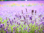 Japan_Hokkaido_Furano_Lavender_shutterstock_300084980 (1)
