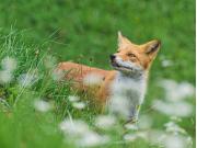Japan_Hokkaido_fox_shutterstock_1538000933