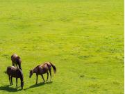Japan_Hokkaido_Tomakomai_Horse_shutterstock_726637102