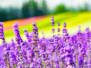 Japan_Hokkaido_Furano_Farm_Tomita_lavendar_shutterstock_1660752376