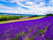 Japan_Hokkaido_Furano_Farm_Tomita_lavendar_shutterstock_648033256
